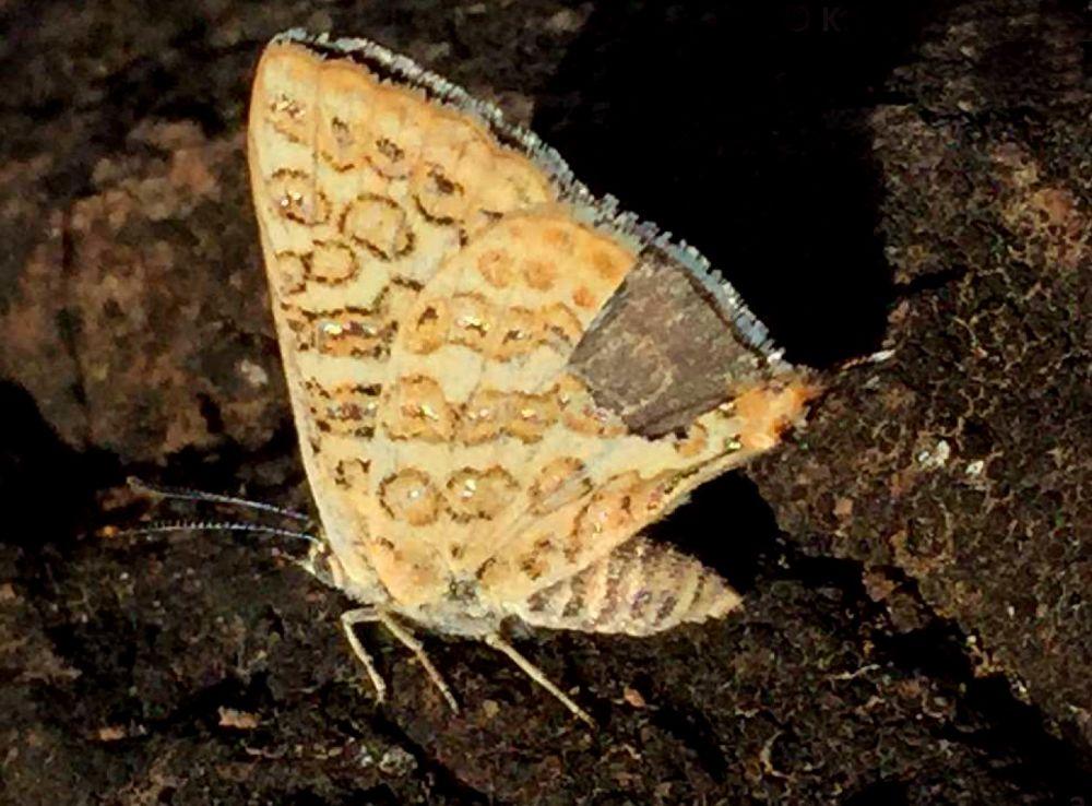 भालू पर शोधरत वैज्ञानिकों ने राजस्थान में नई तितली प्रजाति को खोजा